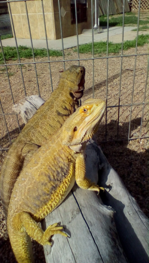 bearded dragon Archives | Page 2 of 2 | Dubias Direct